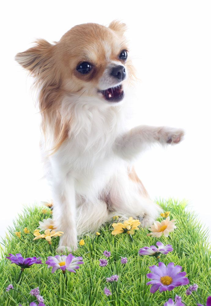 Chihuahua puppy cutie playing in flowers