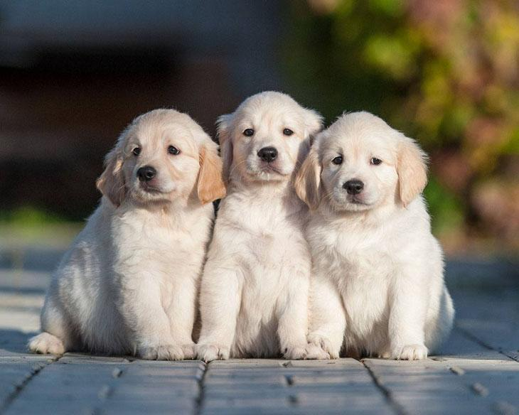 Golden Retriever puppy brother and sisters