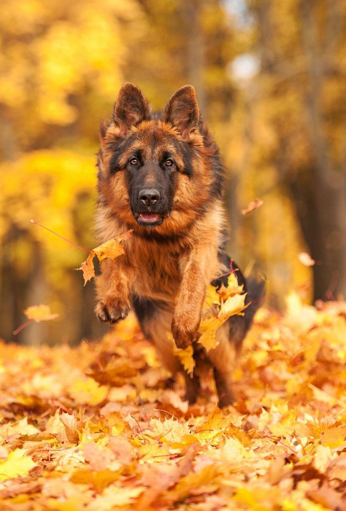 German Shepherd running in fall time leaves