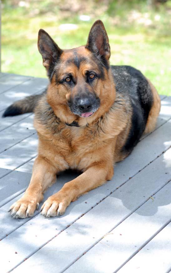 Beautiful German Shepherd standing guard