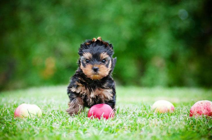 Yorkie chasing down a ball