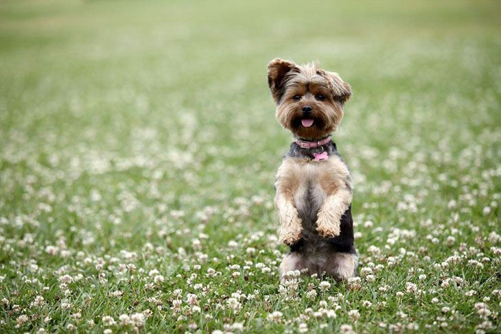 Yorkie cutie standing up for a better view