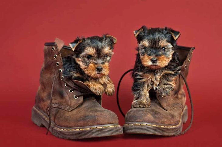 Yorkies stuck in boots