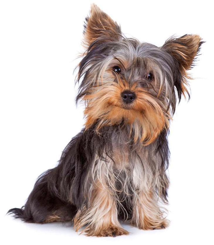 Yorkie puppy waiting for a small dog name
