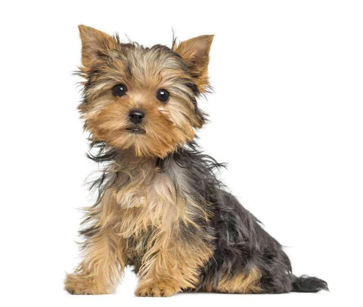 Yorkie puppy cuteness