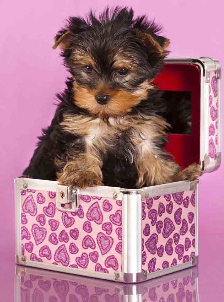 Cute Yorkie surprise