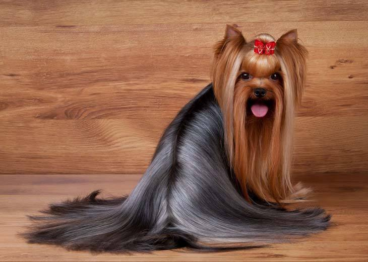 Beautifully groomed Yorkie
